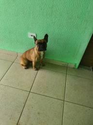 Bulldogue Francês 1 ano