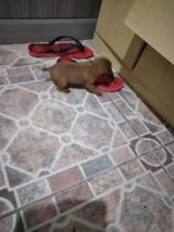 Cachorrinho pinscher n1
