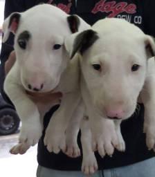 Bull Terrier inglês macho e fêmea raça pura, lindos filhotes