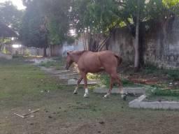 Vendo 1 cavalo quarto de milha 1 égua parida potro filho dum pampa