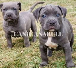Brazillian Kennel AnaBull Filhotes Disponíveis American Bully Pitbull