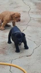 Filhotes de Bulldog Campeiro