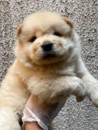 Chow Chow . Um bebê mais fofo que o outro . Vem conhecer