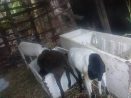 1 cabra é 2 caneiro