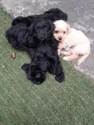Filhotes de Yorkshire com Poodle
