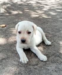 Filhotes de Labrador Pra Se Apegar