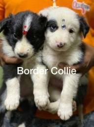 Border Collie com pedigree microchip até em 18x