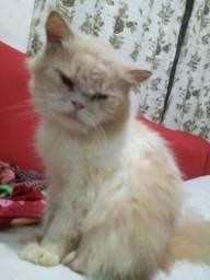 Meu gato Persa procura uma namorada.