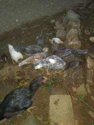 Frangos e galinhas índias
