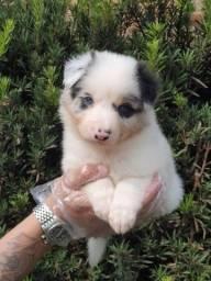 Border Collie, temos doze clinicas veterinárias !