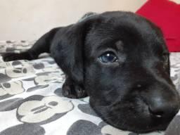 Labrador ( fêmea )