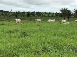 Fazendão de Primeira no Sul do Pará (Soja e Boi)