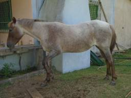 Cavalo Égua Prenha Garanhão 2 Olho Azul