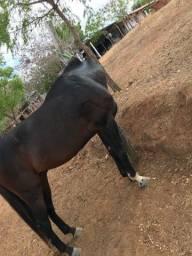 Vendo cavalo 15/16 linhagem de corrida