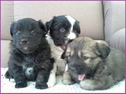 Lindos poodle X maltês 350 cada