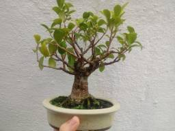 Bonsai de Ficus Retusa