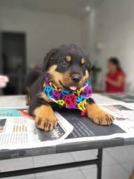 Rottweiler filhotes em até 12 vezes sem juros no cartão! *