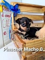 pinscher seu filhote