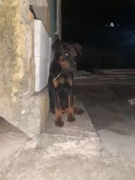 Vendo filhote de Rottweiler Puro