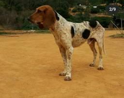 Filhotes de foxhound beagle