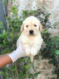 Golden Retriever, garantia contra displasia incluso!