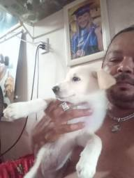 Cachorro pastor branco suíço