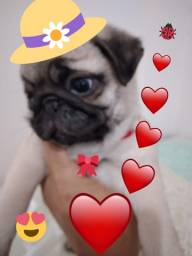 Linda bebê Pug