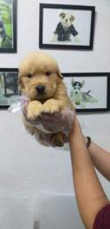 Golden Retriever a pronta entrega, Annie *