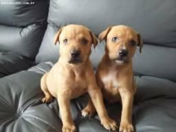 Labrador x dog brasileiro 130
