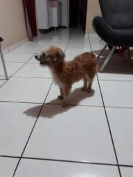Cachorrinha poodle
