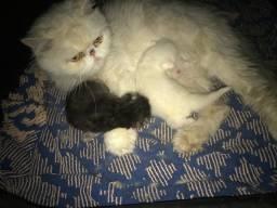 Autênticos filhotes de gato persa
