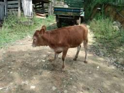 Bezerra (vaca)