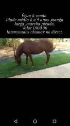Cavalo/Égua