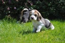 Presente de Natal filhotes de Beagle Fêmea a pronta entrega com Garantia no Contrato