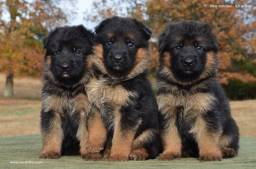 Excelentes cães da raça Pastor Alemão, com pedigree + recibo