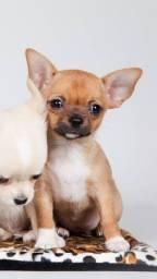 Da madre vende filhotes de Chihuahua