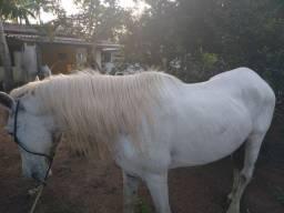 Égua macha picada prenha de 6 meses!! Pai esse cavalo aí da foto!!