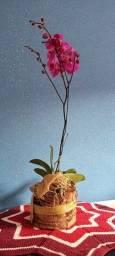 Orquídeas a pronta entrega.