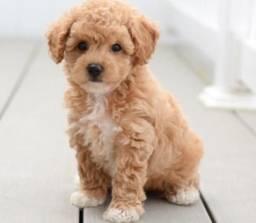 Título do anúncio: Poodle - Lindos filhotes