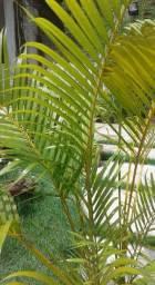 Palmeira ornamental