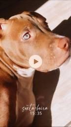Filhote de Pitbull Red Nose.