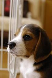 Fêmeas e machos de Beagles com pedigree, recibo e garantia