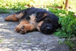 Os Pastores-alemães são cães corajosos, disciplinados, inteligentes e extremamente fiéis