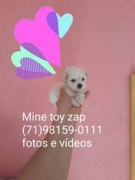 Em breve filhotes de poodle Mine toy porte pequeno sem enganos