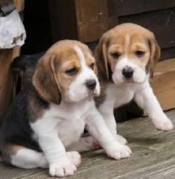 13 Polegadas!! Beagle Mini Filhote com Pedigree e Garantia de Saúde