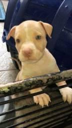 Pitbull American terrier