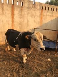Vende-se casal de mini Boi e vaca
