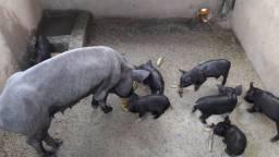 Porquinhos a venda (preço a combinar)