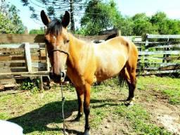 Égua Mangalarga Marchador(venda ou troca)