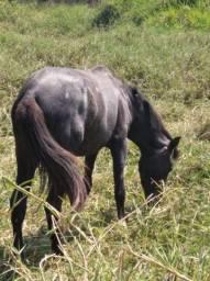 Cavalo mangalarga 2 anos